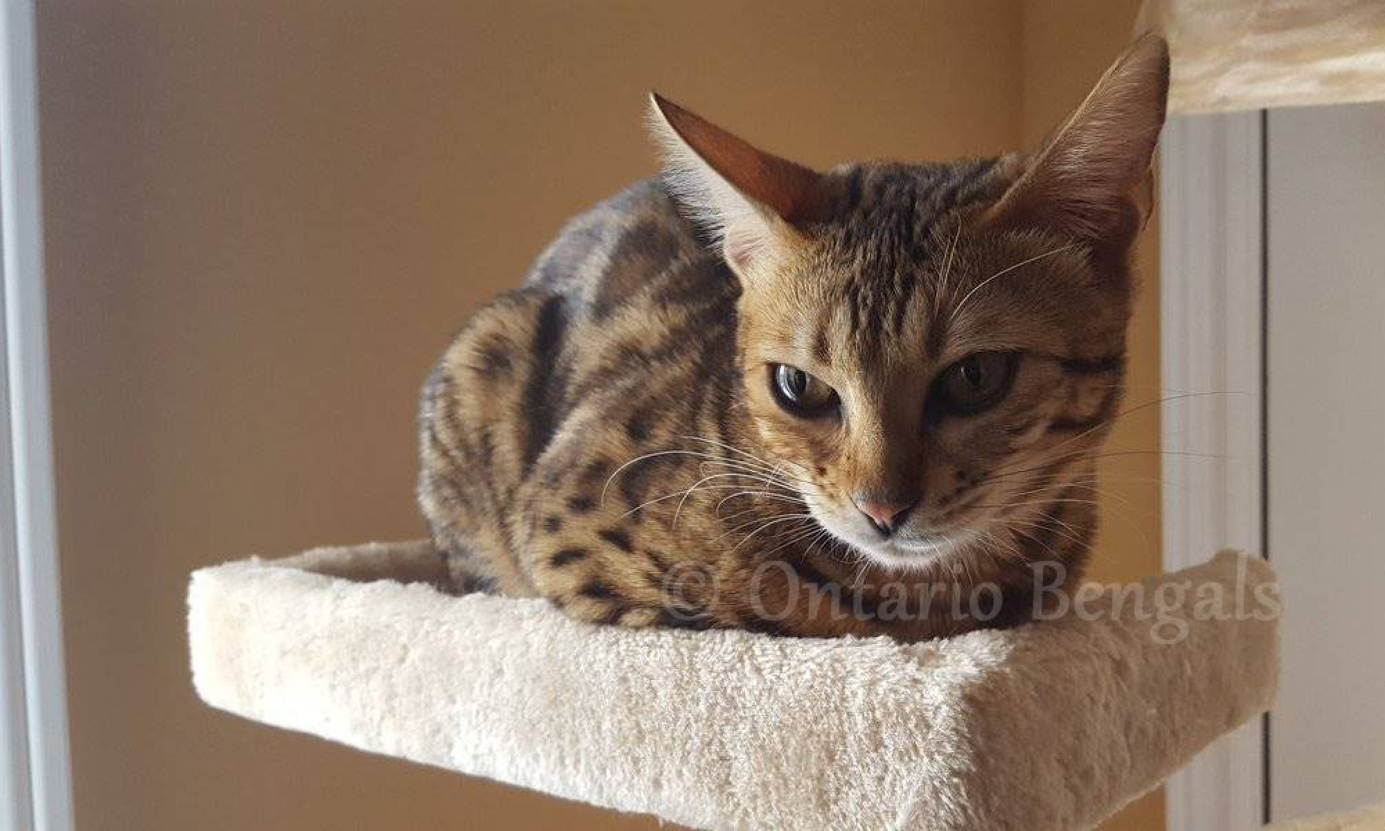 Bengals Kittens for Sale | Ontario Bengals Cattery